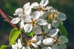 白色梨开花分支开花在春天太阳的,宏指令 库存图片