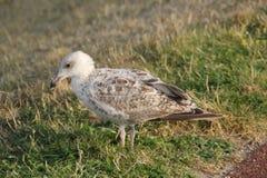 白色棕色海鸥关闭 免版税库存照片