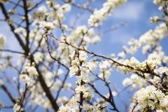 白色樱桃树在分支蓝天太阳光春天开花 免版税图库摄影