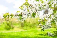 白色樱桃树开花 下雨 免版税图库摄影