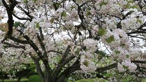 白色樱桃树