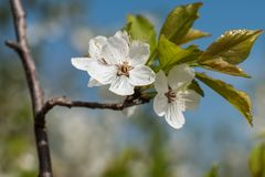 白色樱桃花反弹与天空蔚蓝的绽放在背景 r 库存照片