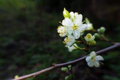 白色樱桃花在春天 免版税库存图片