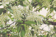 白色樱桃花开花 免版税库存照片