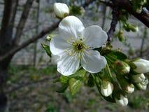 白色樱桃花 库存图片