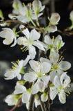 白色樱花宏指令 图库摄影