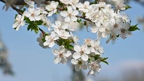 白色樱花的关闭在清楚的天空蔚蓝 影视素材