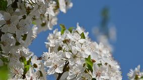 白色樱花的关闭在清楚的天空蔚蓝 股票视频