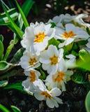 白色樱草属在庭院里 免版税库存图片