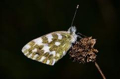 白色橄榄色的蝴蝶 库存图片