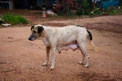 白色母亲狗,摄影画象泰国狗它在街道上 免版税图库摄影