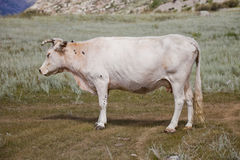 白色母牛侧视图 免版税库存照片