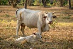 白色母牛和小牛在公园 库存图片