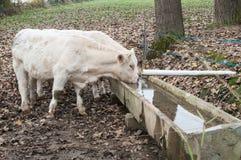 白色母牛喝 库存照片