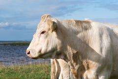 白色母牛头画象 免版税库存照片