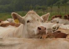 白色母牛牧群  免版税库存照片