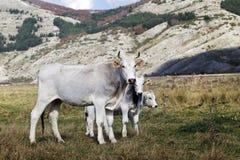 白色母牛养殖了的意大利语和吃草两头小的小牛 免版税库存图片