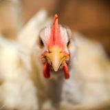 白色母鸡 图库摄影
