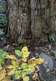 白色毒莓 库存照片