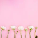 白色毛茛属花框架和芽变粉红色背景 平的位置,顶视图 背景细部图花卉向量 免版税库存图片