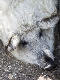 白色毛茸的猪罕见的品种 动物园taigan公园 库存照片