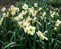 白色水仙在庭院里增长 库存照片