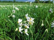 白色水仙poeticus春天花在水多的年轻草中的在一个晴天 免版税库存照片