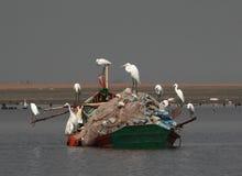 白色池塘苍鹭 库存图片