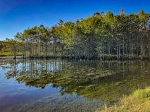 白色沼泽白鹭 库存图片