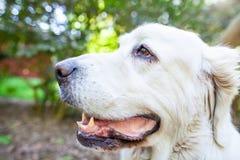 白色波兰Tatra护羊狗 库存图片
