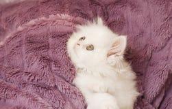 白色波斯小猫 库存照片