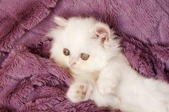 白色波斯小猫 免版税图库摄影