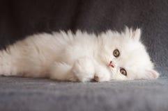 白色波斯小猫 免版税库存照片