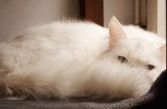 白色波斯猫偷看 库存照片
