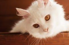白色波斯猫 库存图片