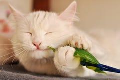 白色波斯猫 库存照片