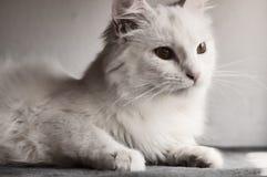 白色波斯猫 免版税库存图片