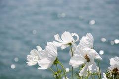 白色波斯菊在一个大风天 免版税库存照片