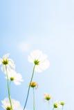 白色波斯菊在庭院里开花有在淡色减速火箭的葡萄酒样式的天空云彩软的迷离背景 波斯菊花波斯菊Bipin 免版税库存图片