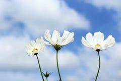 白色波斯菊开花 库存照片
