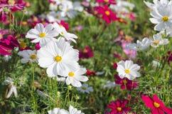 白色波斯菊花在庭院里 库存图片