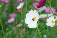 白色波斯菊花有迷离庭院背景 免版税库存图片