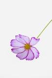 白色波斯菊bipinnatus特写镜头 库存照片