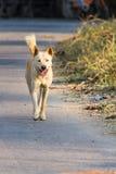 白色泰国狗步行 免版税图库摄影