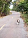 白色泰国狗步行 免版税库存图片