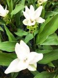 白色泰国郁金香花开花 白色泰国郁金香花开花 库存图片