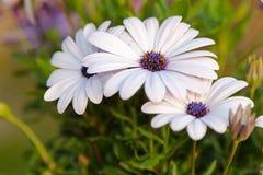 白色海角雏菊(Osteospermum)与紫色中心 库存图片