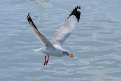 白色海鸥哺养 库存图片