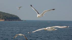 白色海鸥在以海和海岛为背景的焦点 Adalar,土耳其 免版税库存照片