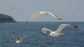 白色海鸥在以海和海岛为背景的焦点 Adalar,土耳其 免版税库存图片